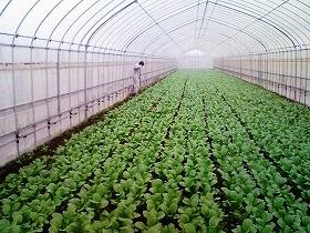 ローソンファーム千葉で栽培される小松菜