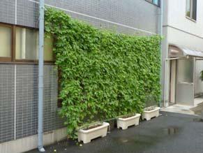 全通本社で取り組んだ緑のカーテン