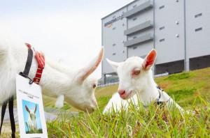 ▲仲良く草を食べる、こま子ちゃん(左)、定春君(右)。ヤギさんオリジナルIDを着用。