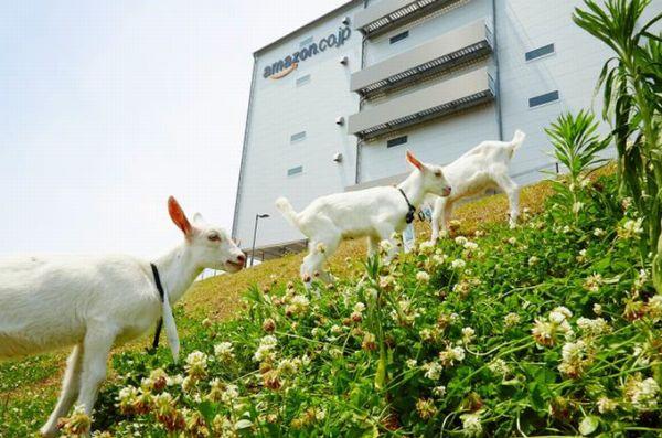 アマゾン物流拠点に「ヤギ除草隊」、ことしは頭数倍増(2)