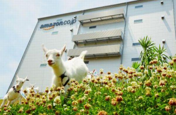 アマゾン物流拠点に「ヤギ除草隊」、ことしは頭数倍増(5)