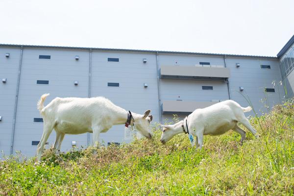 アマゾンが多治見市FCで恒例のヤギ除草、最大40頭05