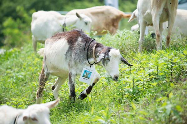 アマゾンが多治見市FCで恒例のヤギ除草、最大40頭04