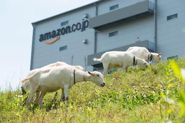 アマゾンが多治見市FCで恒例のヤギ除草、最大40頭01